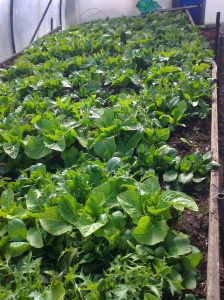 Salad crops - rocket, spinach, lettuce - with underplanted potatoes in the hotbed inside the polytunnel