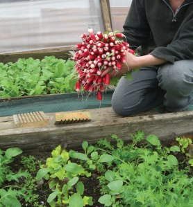 The first radishes, in March. These were sown at the beginning of February.