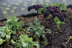 Ch2-kale-outside,-lettuce-inside-in-January-300