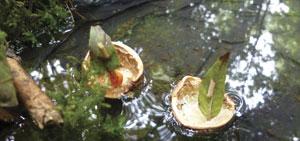 walnut-21-300w