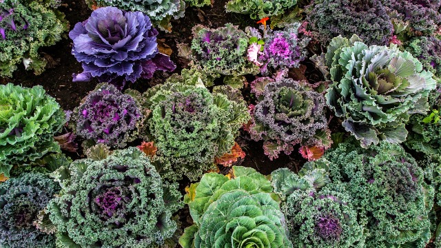 varieties-of-kale-1167557_1920